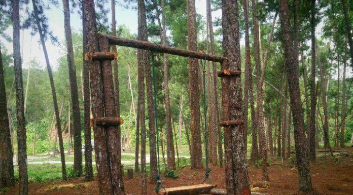 Terap Pine Forest