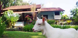 Glamgoat Aman Dusun Farm Retreat